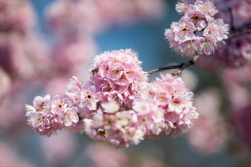 China Spring Cherry