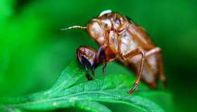 Close up of cicada slough on leaves