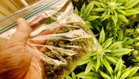 Hand holding bag of freshly home grown and dried cannabis