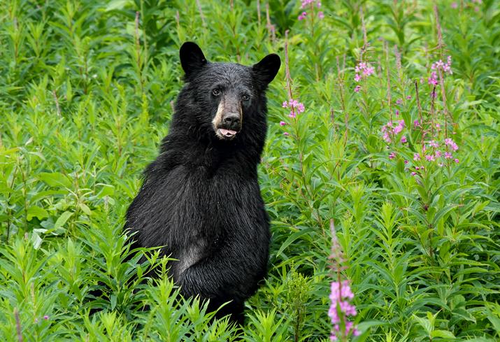 American Black Bear on alert